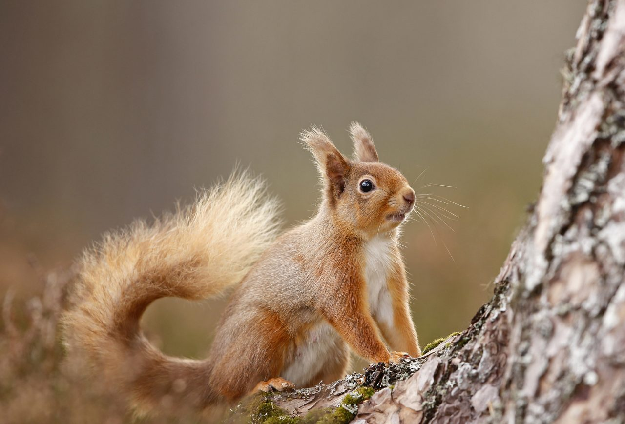 Red Squirrel, Rothiemurchus