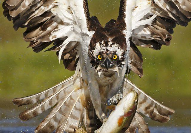 Osprey photography, Rothiemurchus